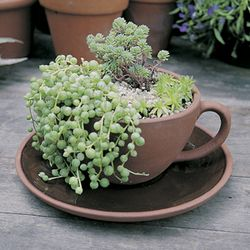 TEA CUP AND SAUCER PLANTER