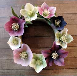 HELLEBORE RINGS